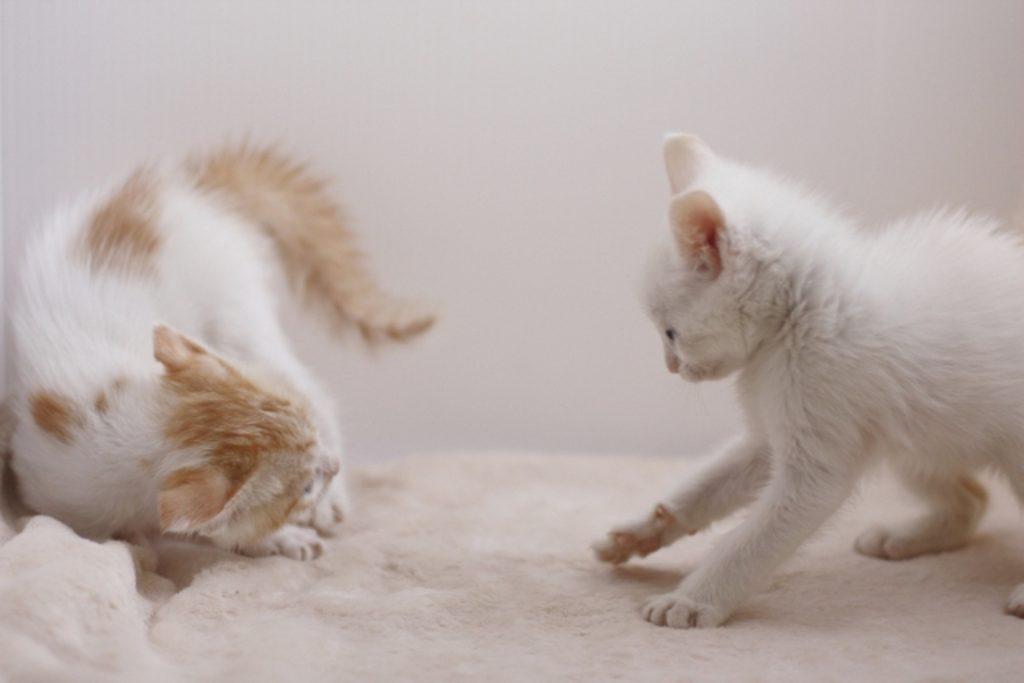 睨み合う2匹の子猫