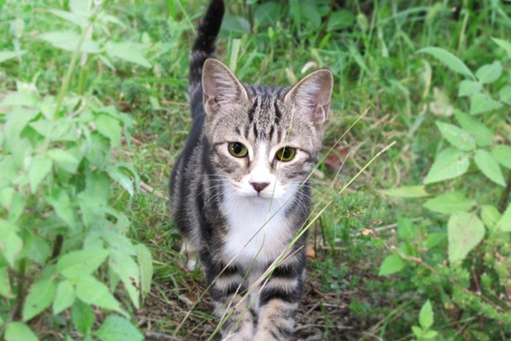 草むらでしっぽを立てる猫