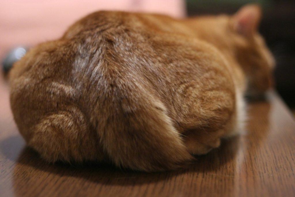尻尾を収納する猫のうしろ姿
