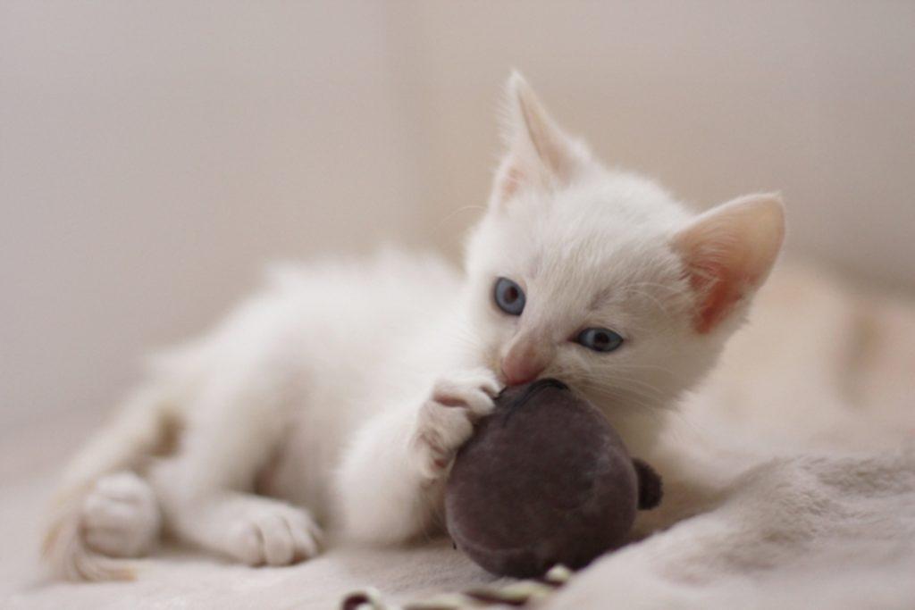 おもちゃにかじりつく子猫