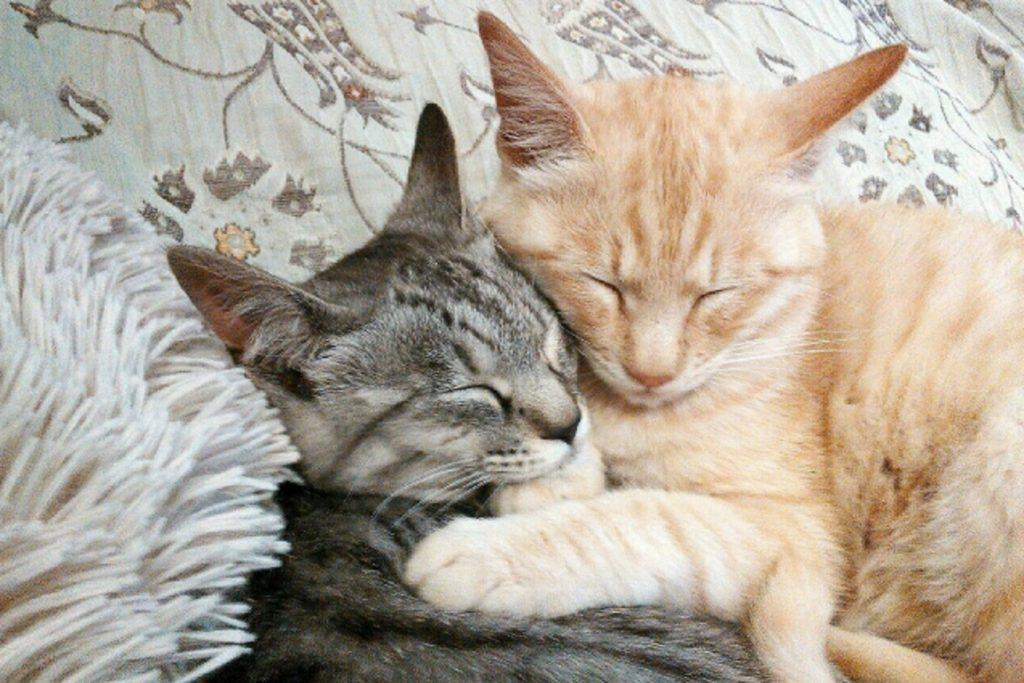 くっついて寝る2匹の猫