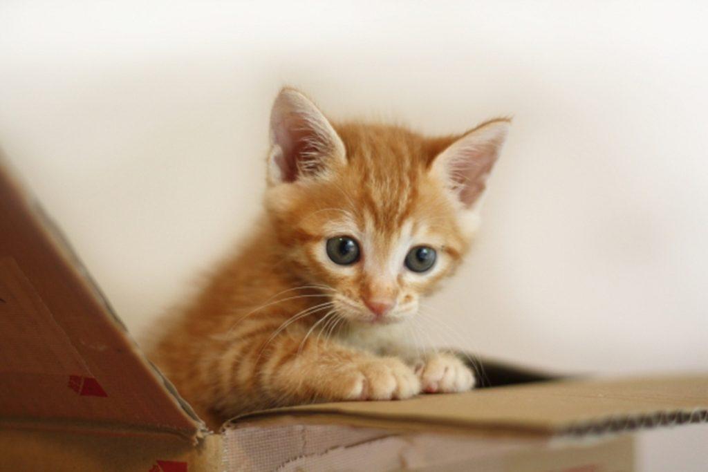 段ボールに入った子猫