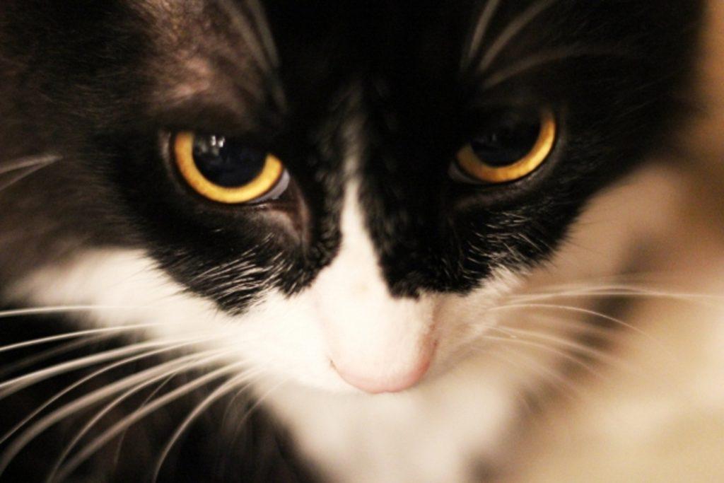 白と黒の毛並みの猫