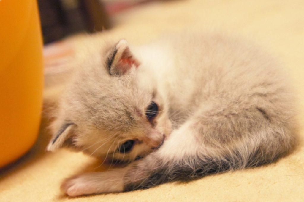 ペットホテルで毛づくろいをする子猫
