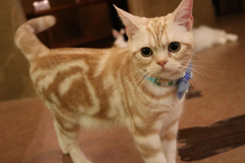 てまりのおうちのマーブル模様の猫