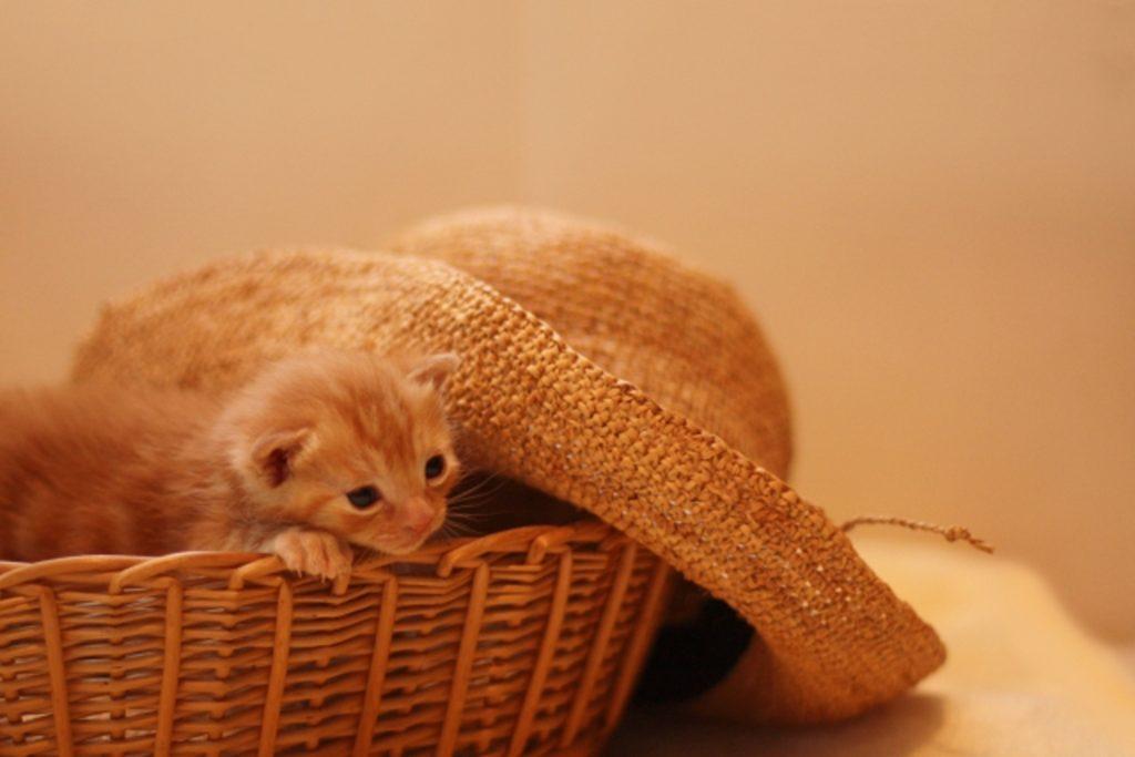 バスケットの中でヌクヌクの子猫
