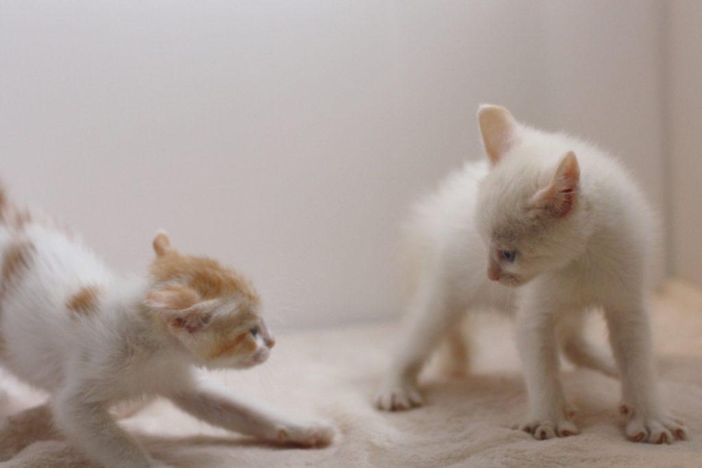 向かい合う2匹の子猫