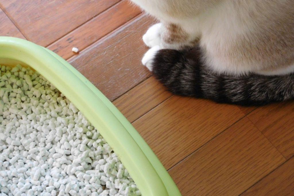 猫用トイレの前でお座りする成猫