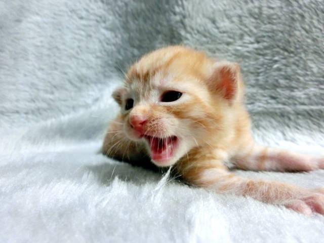 不安そうに鳴く子猫