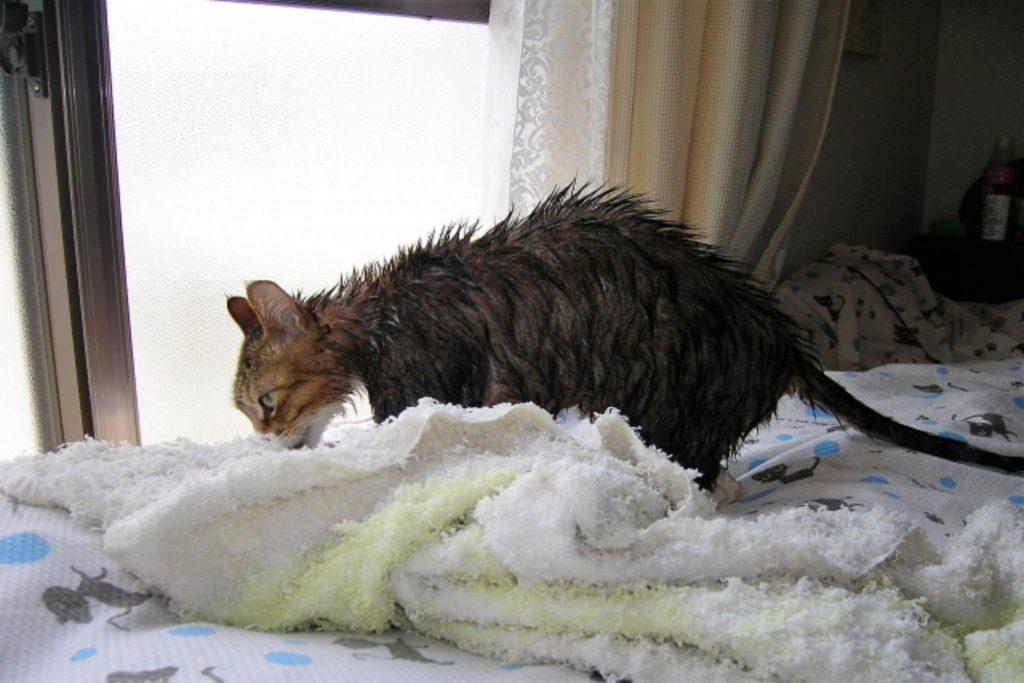 身体が濡れた猫