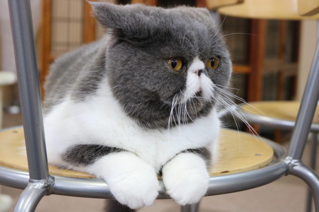 イスの上に座るエキゾチックショートヘア