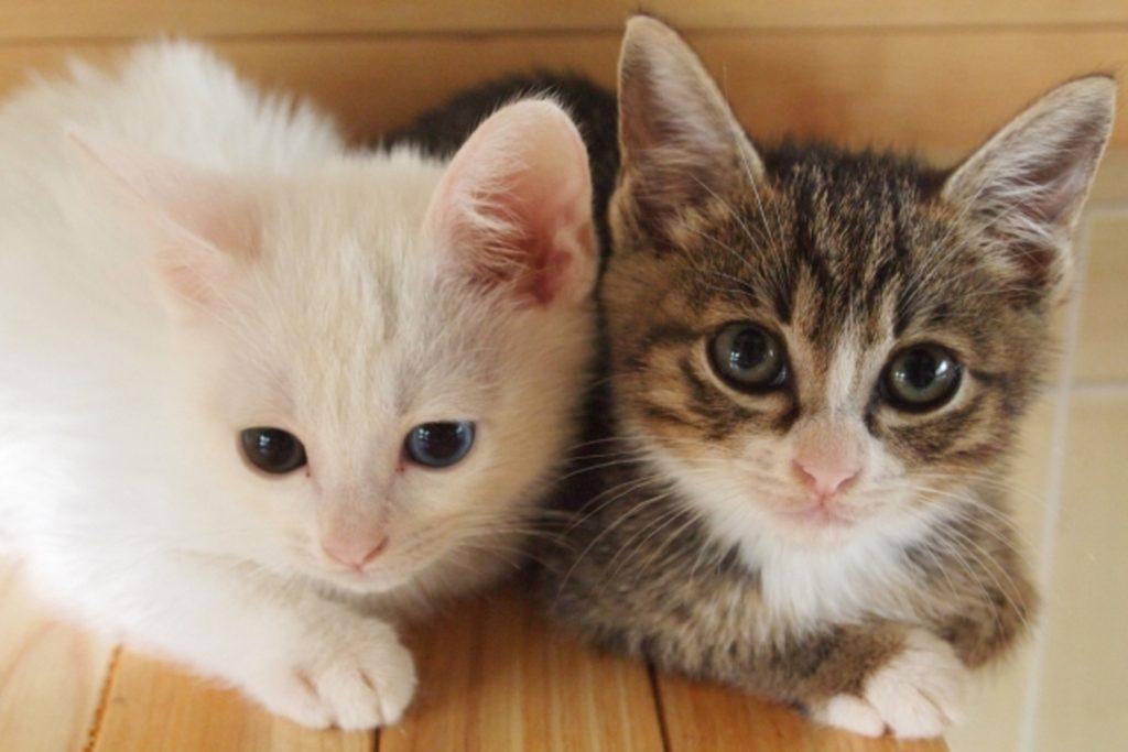 飼い主を見つめる2匹の子猫