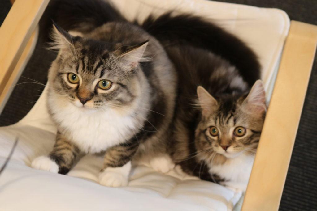 猫じゃらしに反応する猫家の猫