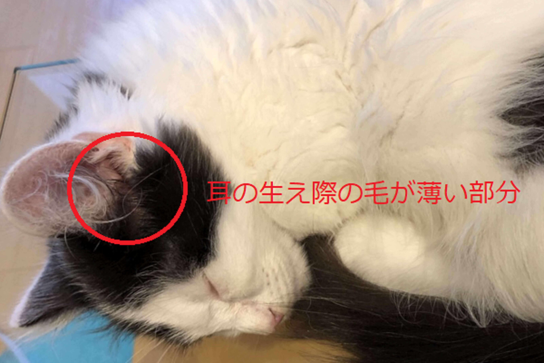 猫の耳の生え際