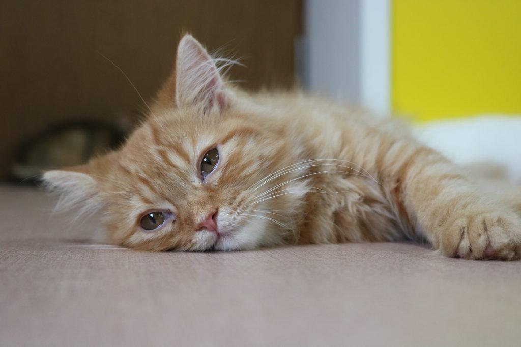 ぐったり横たわる猫