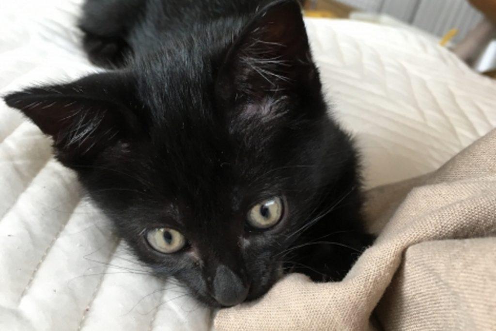 布団を噛む黒猫