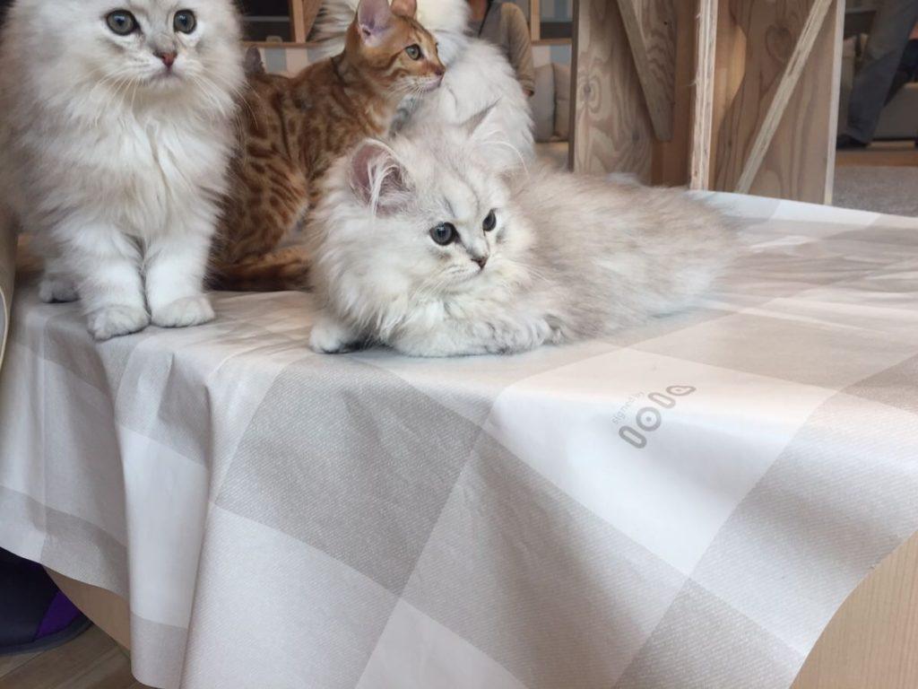 テーブルの上に座るたくさんの子猫たち