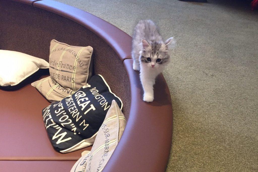 ソファーの背もたれを歩く子猫