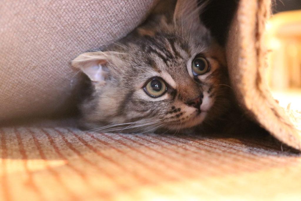 カーペットの下から顔を出している猫