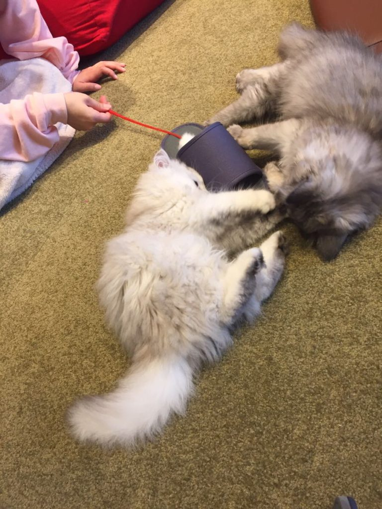 スリッパと猫じゃらしで遊んでもらう子猫たち