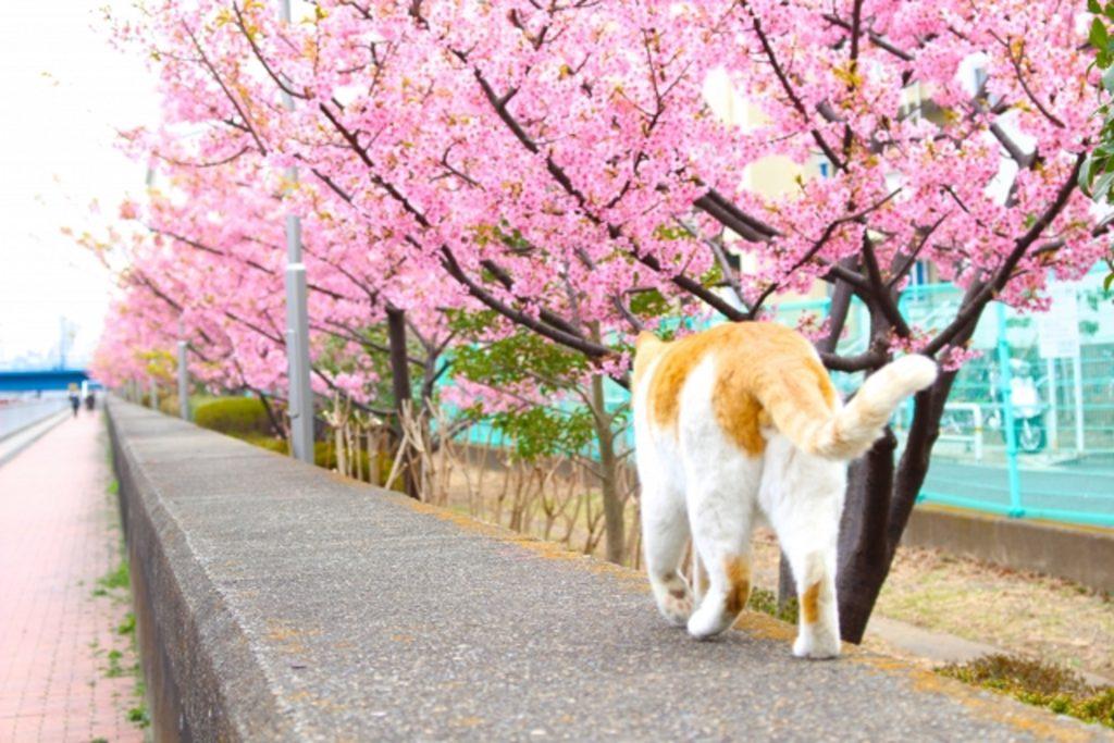 桜並木を散歩する猫