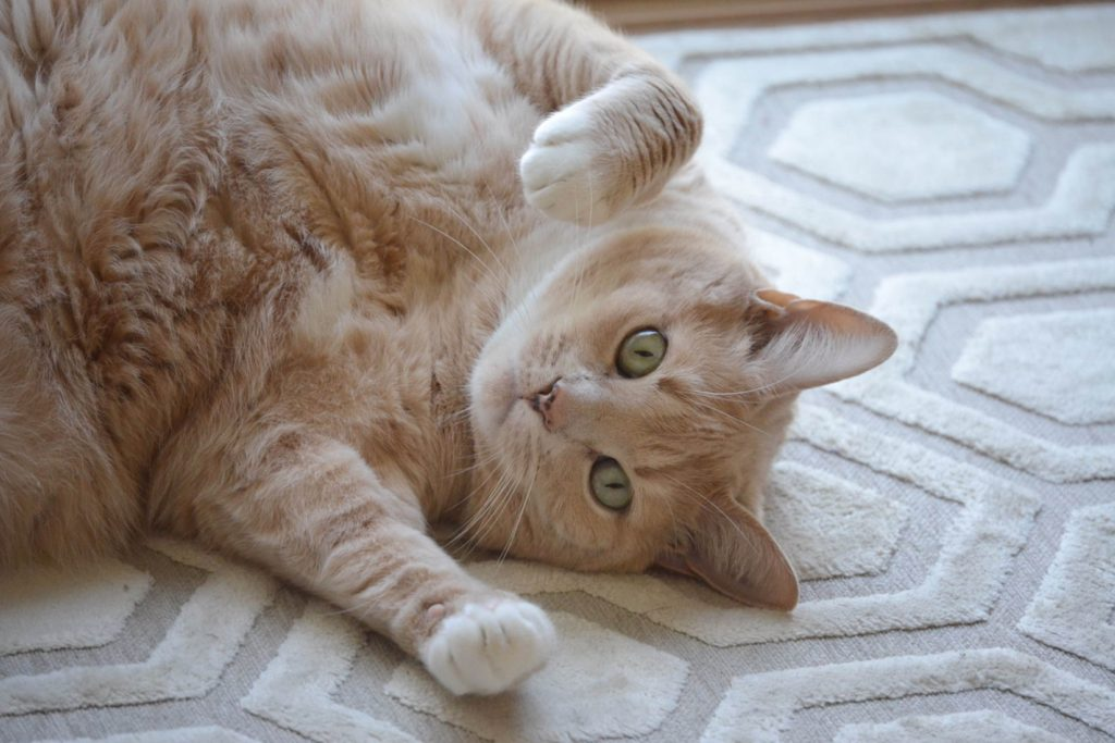 カーペットの横向きになって構える猫
